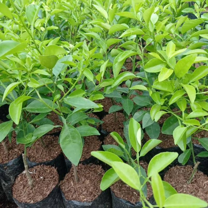 Pohon Jeruk Limo tanaman jeruk limo jeruk Limo Malang