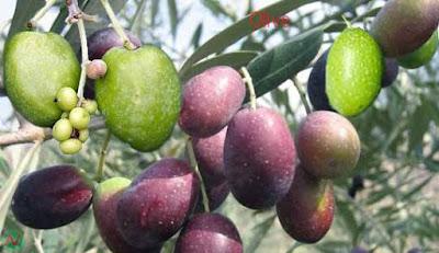 olive; olive fruit