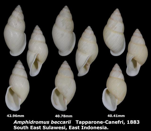 Amphidromus beccarii 40.41 & 40.78 & 42.96mm