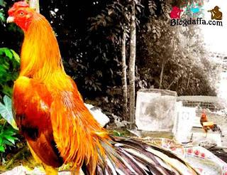 Ayam Jago Dipercaya dapat Membawa Keberuntungan