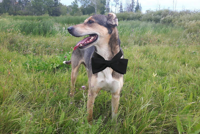 The Tidy Prince from The Prince and the Pea, canine fairytale. A handsome dog wearing a bow tie and standing in a field.ing a