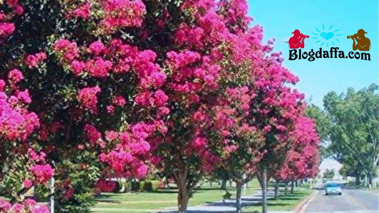 Pohon Bungur (Lagerstroemia speciosa)