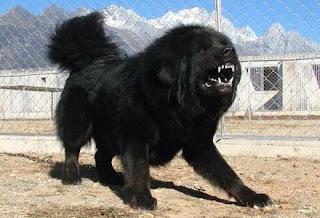 Bakharwal dog image