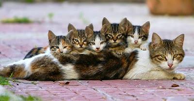 Perawatan Kucing Anatolian