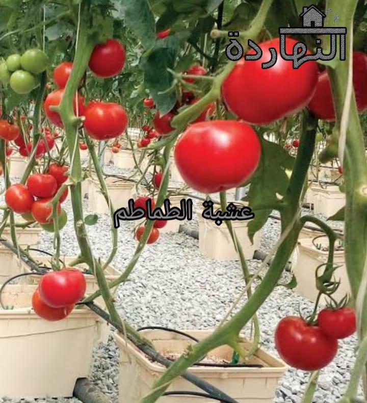 عشبة  الطماطم