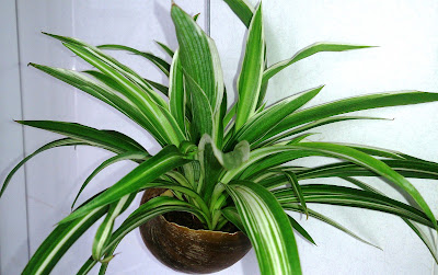 spider plant help to remove bad indoor air pollution