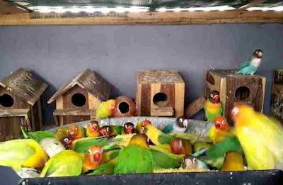 Tips Dan Cara Mudah Budidaya/Ternak Koloni Lovebird Bagi Pemula Terlengkap