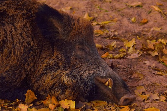 Contoh Cerita Dongeng Singkat dalam Bahasa Inggris Day With Pigs