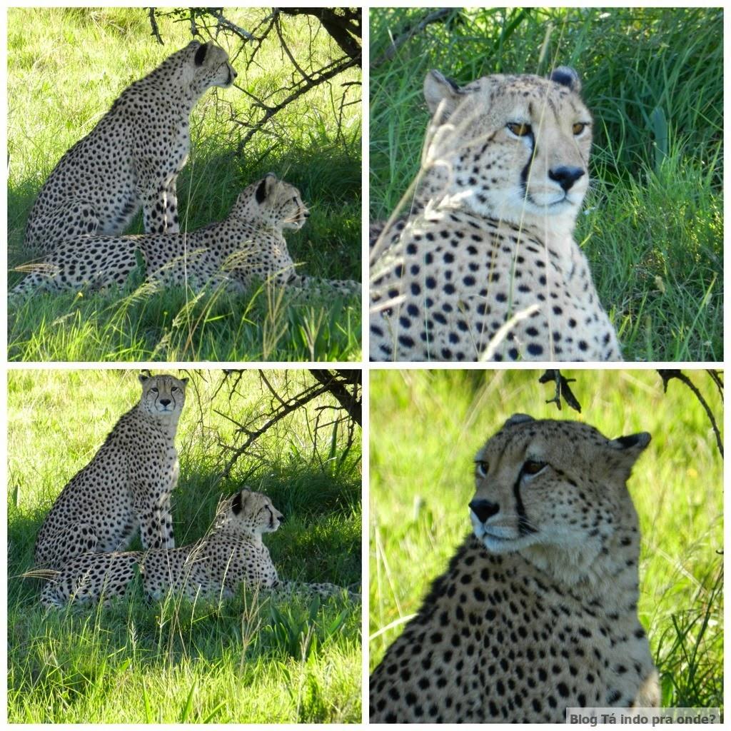 guepardos na África do Sul
