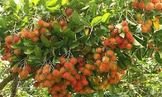 Việt Nam chuẩn bị xuất khẩu chôm chôm sang New Zealand