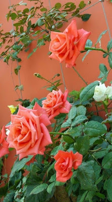 O que fazer quando a roseira não dá flor?