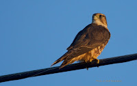 Female or juvenile merlin at sunset in North Rustico – PEI, Aug. 11, 2016 – by Matt Beardsley