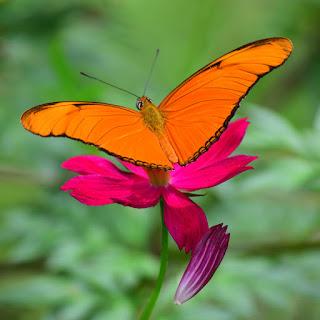 Butterflies of Costa Rica