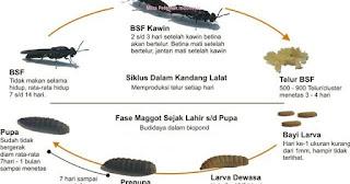 siklus maggot lalat bsf