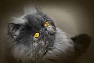 Alimentación de un gato persa