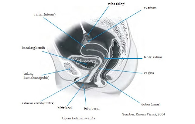 Sebutkan dan Jelaskan Organ Reproduksi Wanita