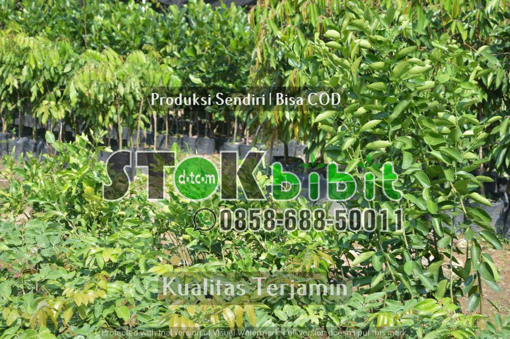 Kota ini butuh pohon-pohon penyejuk jalan, khususnya tanaman pohon Mahoni    Grosir     Berkwalitas