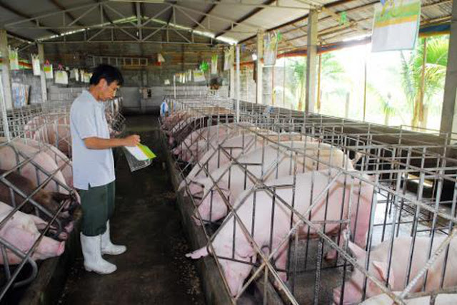 Giá heo hơi tại trang trại đang nhích lên, tiệm cận với giá thành chăn nuôi.