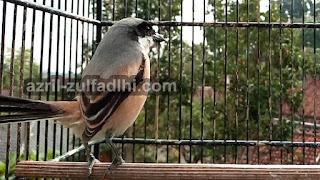 Foto Burung Cendet Prianngan