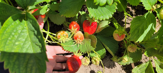 Sweet Strawberries about to be pick