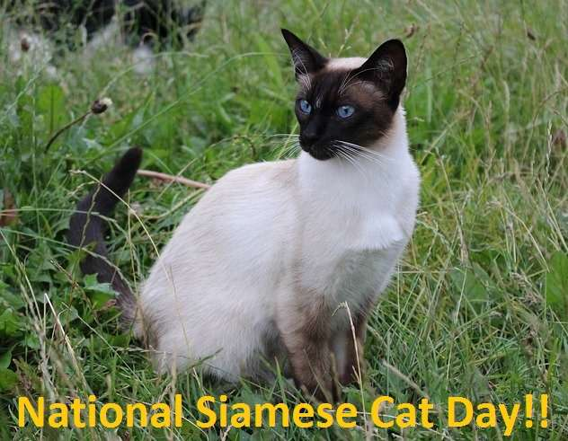 National Siamese Cat Day Wishes Pics