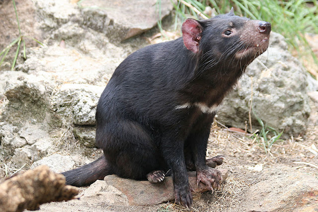 Cooling climate drove evolution of Tasmanian Devil and its relatives