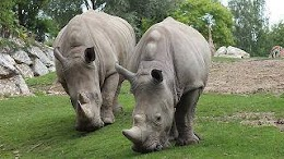 ما سبب غلاء قرون وحيد القرن؟