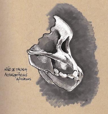 australopithecus_africanus