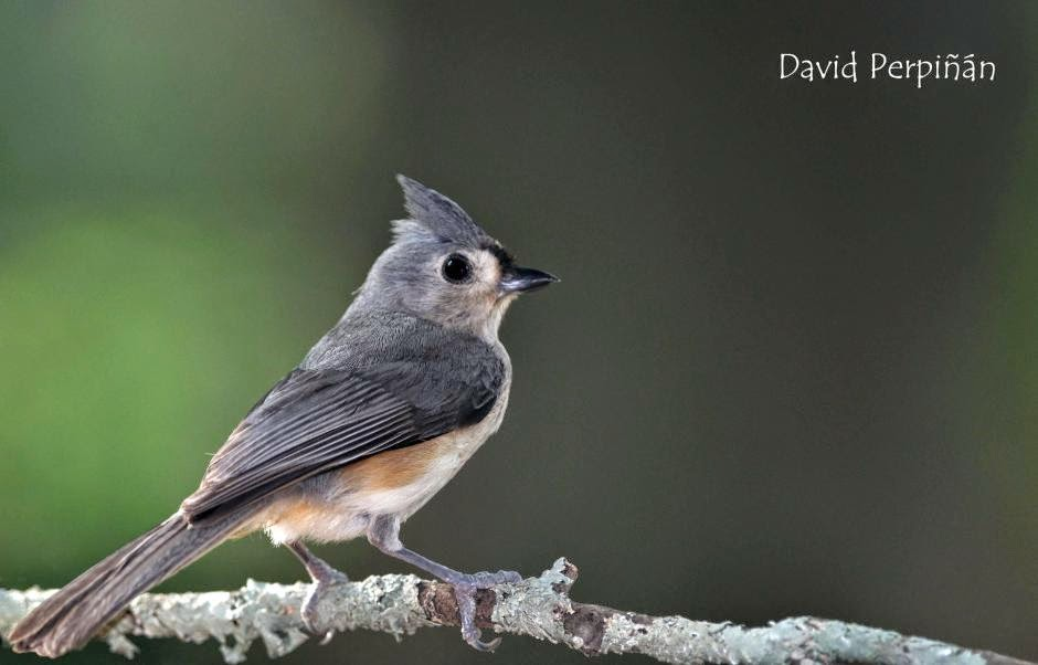 american birds Tufted Titmouse