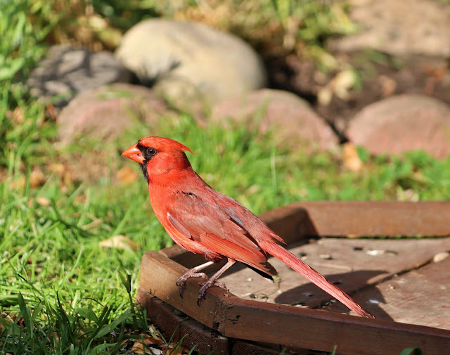male cardinal in the evening
