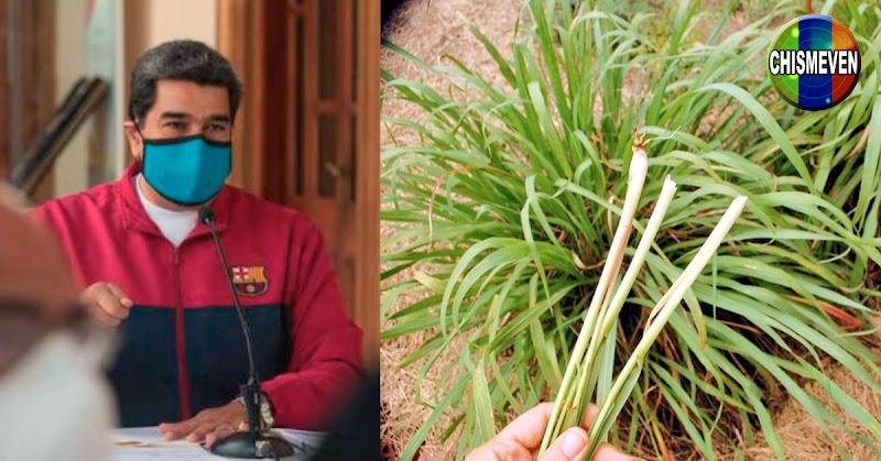 TERCERMUNDISMO   Maduro propone el uso de Malojillo para curar el COVID