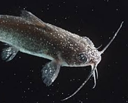 Penyakit jamur pada ikan lele