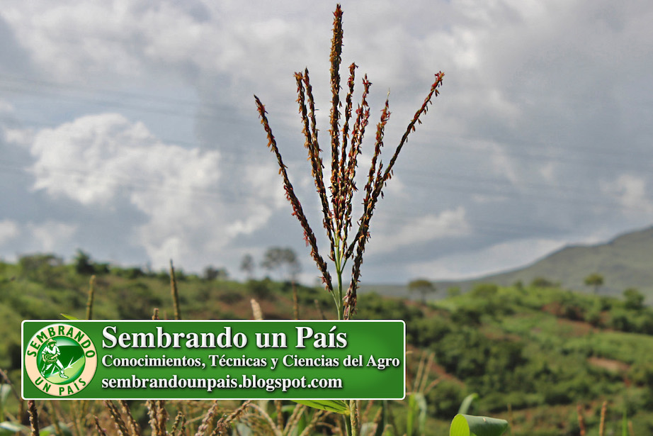 flor masculina del maíz
