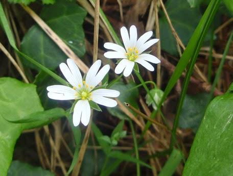 Oreja de ratón (Cerastium arvense)blanca