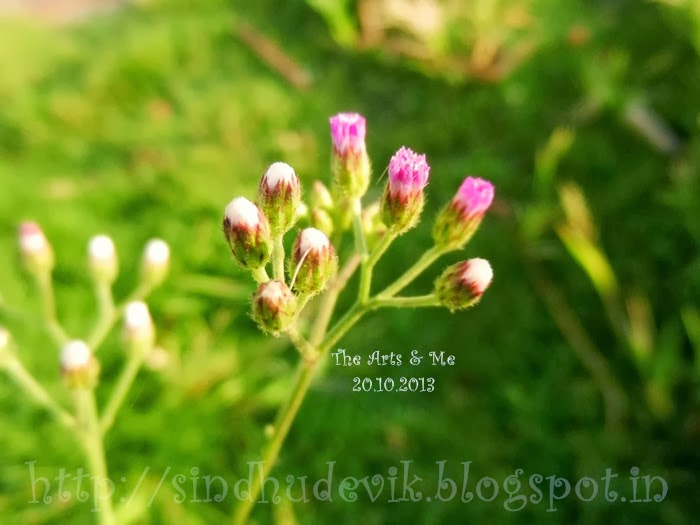 Vernonia cinerea ,Fleabane - pink flowers that are visible to camera only