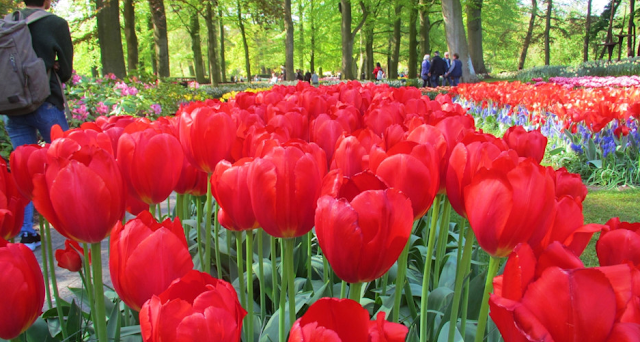 the most beautiful tulips in the Netherlands