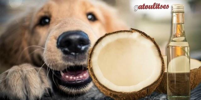 Λάδι καρύδας : Ένα θεραπευτικό έλαιο για τον σκύλο σας! (βίντεο)
