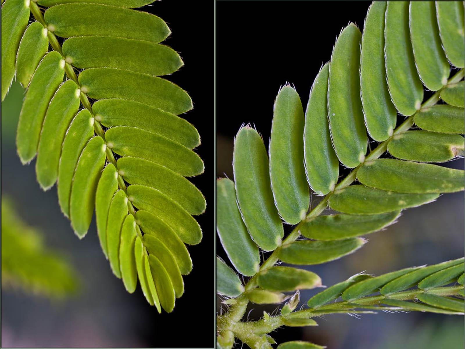 Mimosa Pudica, the Sensitive Plant | akshay