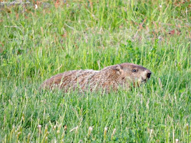 Marmota, New Hampshire