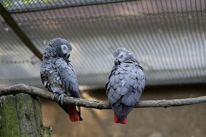 Getting to Know Your African Grey Parrot