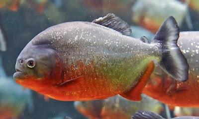 Piranha Perut Merah (Red-bellied Piranha)