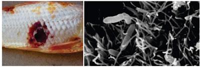 Penyakit Bakterial Ikan : Aeromonas sp