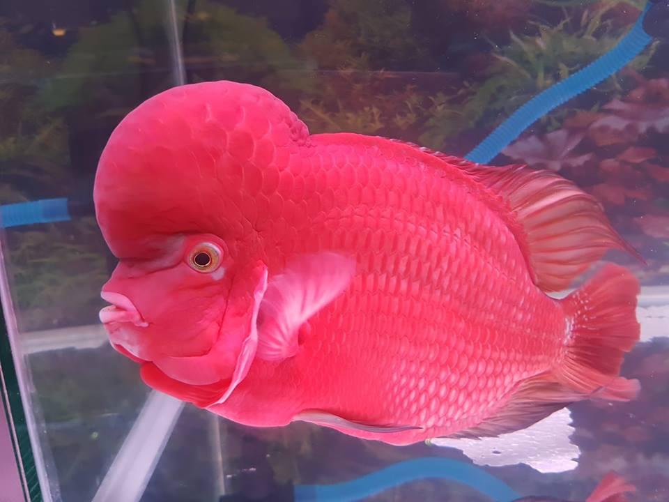 ikan-red-monkey-kategori-klasik-palembang