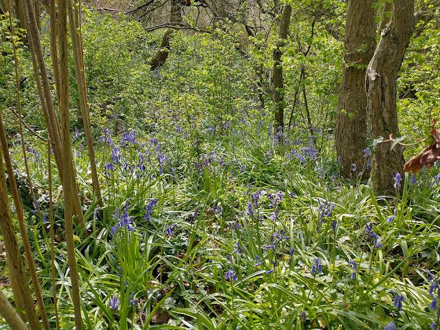 Bluebells along my walk near Pewsham