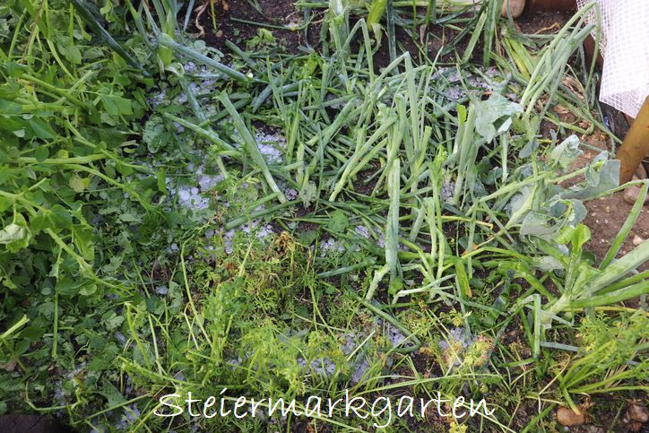 Hagelschaden-Gemüsebeet-Steiermarkgarten