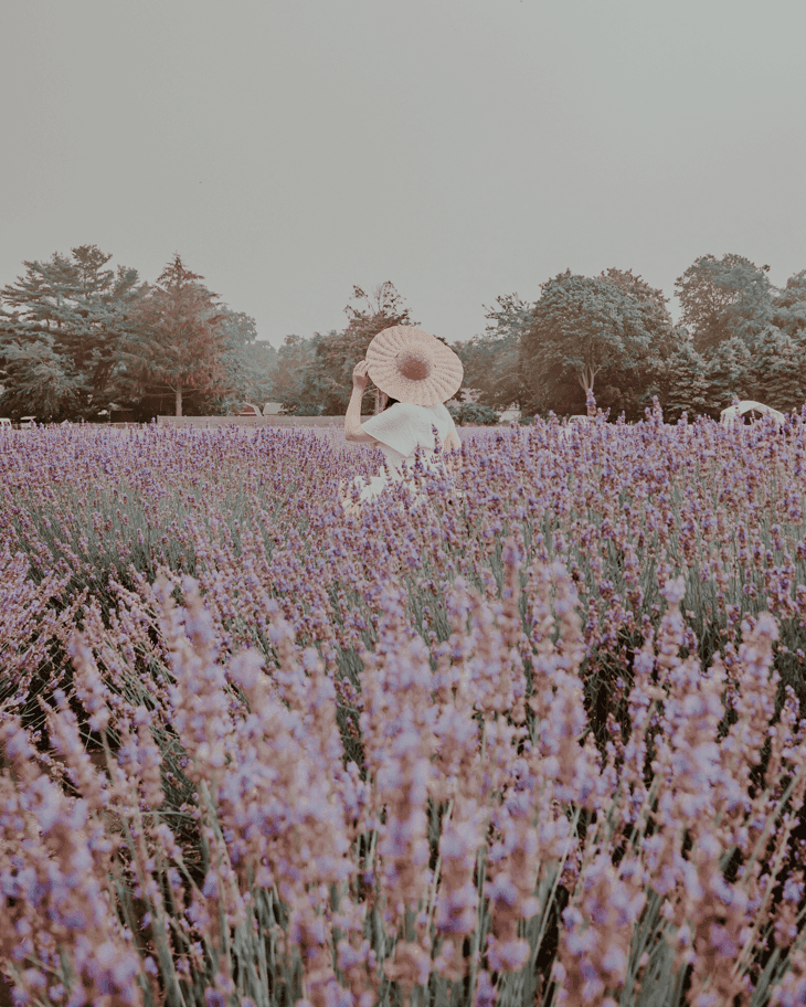 Lavender by the Bay, Long Island New York - Lavender by the Bay Tickets - Lavender Farm - Best time to visit
