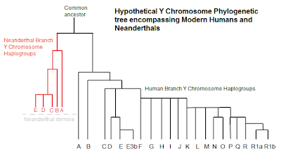 Neanderthal and human Y chromosome tree