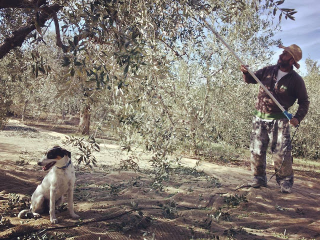 A dog and a Tuscan native picking olives with an electric tool