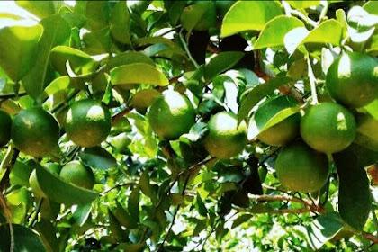 4 Manfaat Ajaib dari Air Perasan Lemon Untuk Kesehatan Tubuh