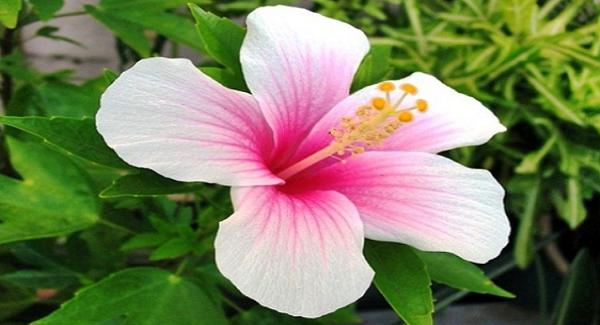 Bunga Kembang Sepatu Dapat Di Makan